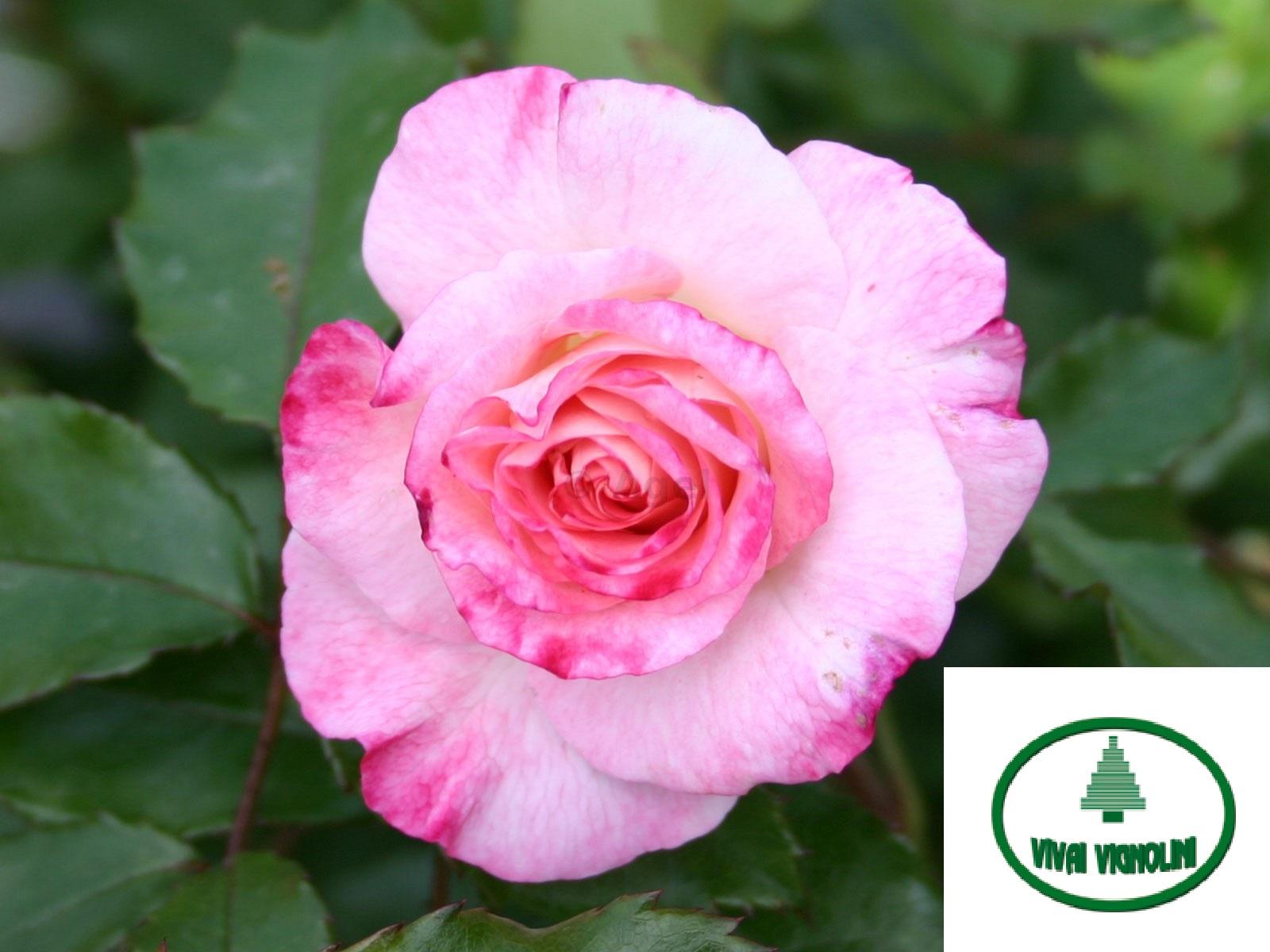 Catalogo rosa grandi fiori abigaile vivai vignolini for Catalogo piante e fiori