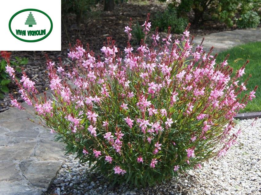 Catalogo gauranana rosa vivai vignolini vivaio for Catalogo alberi da giardino